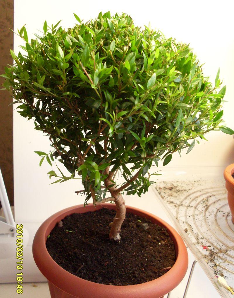 Мирт звичайний - вирощування та лікувальні властивості