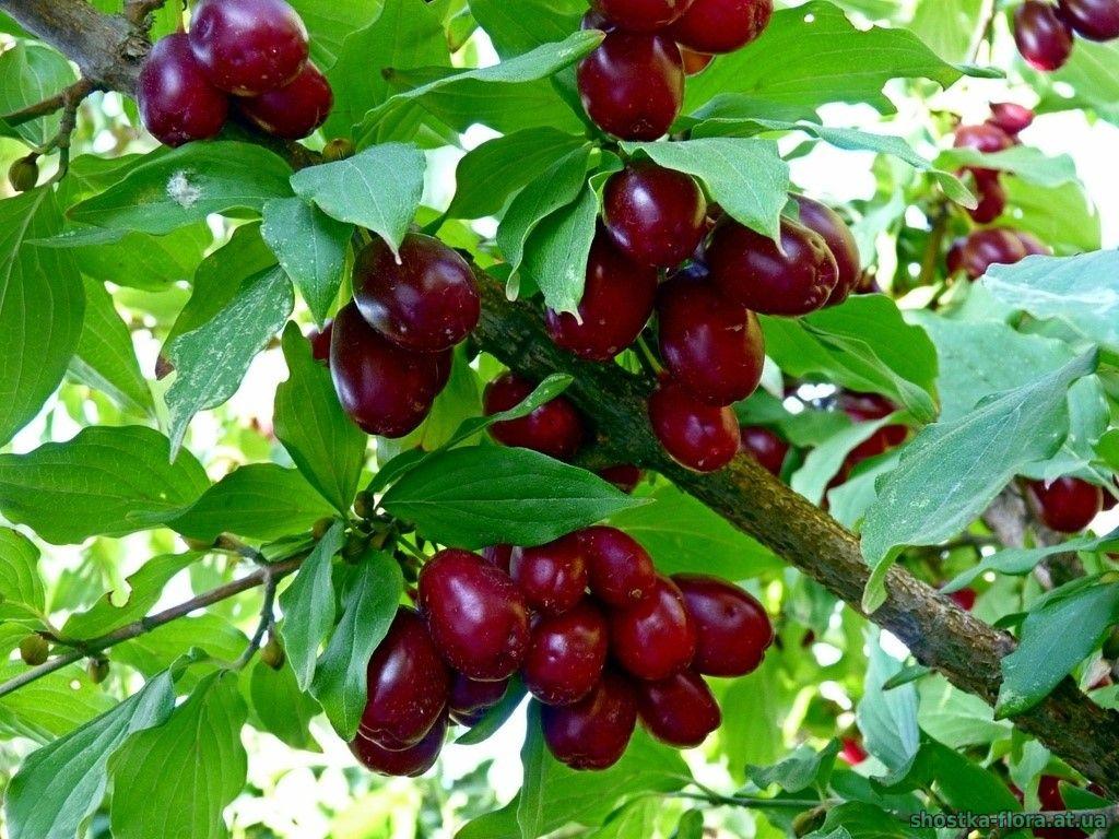 Лікувальні властивості смачних ягід кизилу