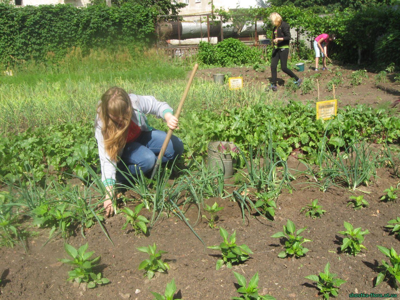 Вирощування цибулі на ділянці овочівництва СЮН