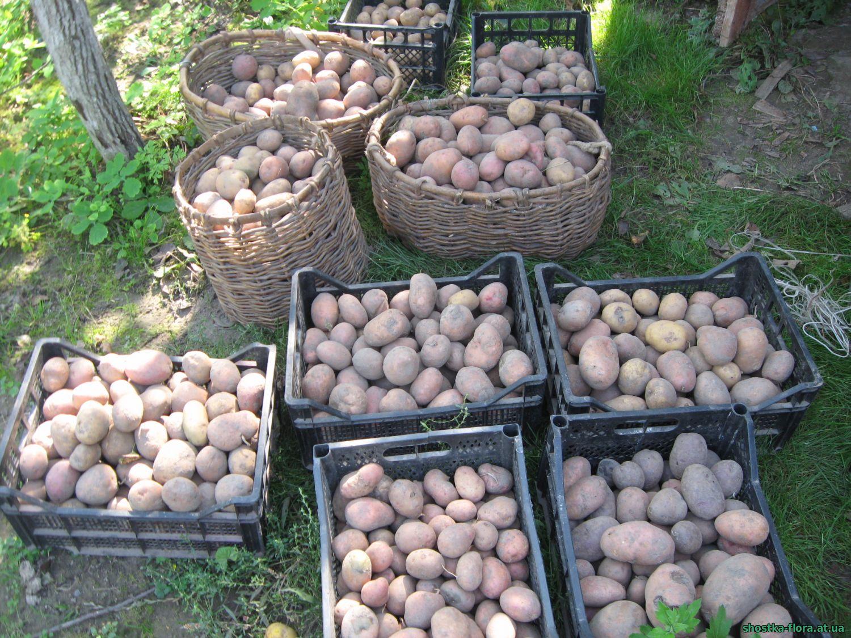 Правильне вирощування - гарний врожай картоплі